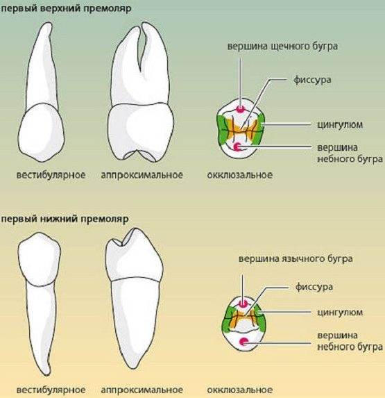 Анатомическое строение первого верхнего и нижнего премоляра