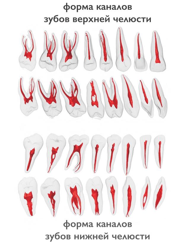 Форма каналов зубов верхней и нижней челюсти