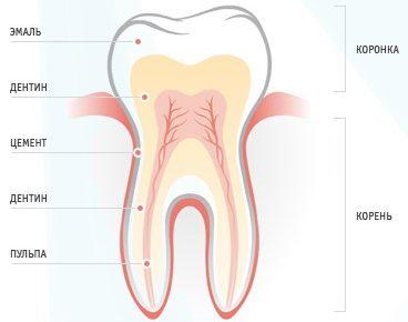 Гистологическое строение зуба