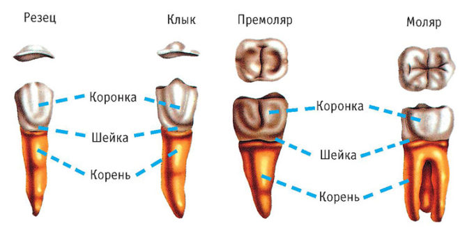 Корни резцов, клыков, премоляров и моляров