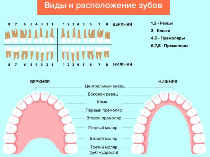 Нумерация и расположение зубов