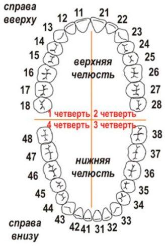 Нумерация зубов в стоматологии по системе Виола