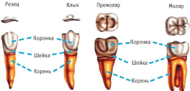 Отличительные особенности зубов разных видов