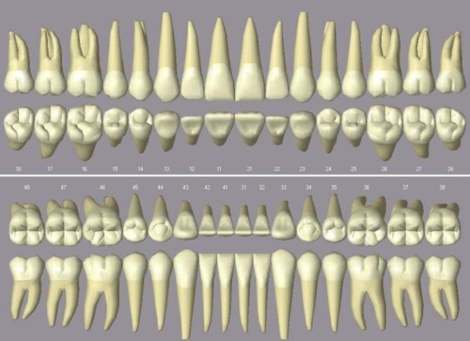 Отличия в строении верхних и нижних зубов