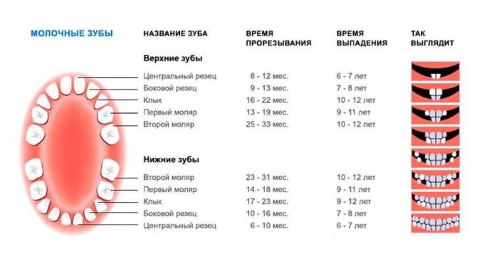Последовательность прорезывания и выпадения молочных зубов - схема