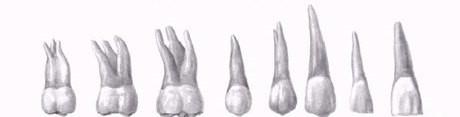 Постоянные верхние зубы