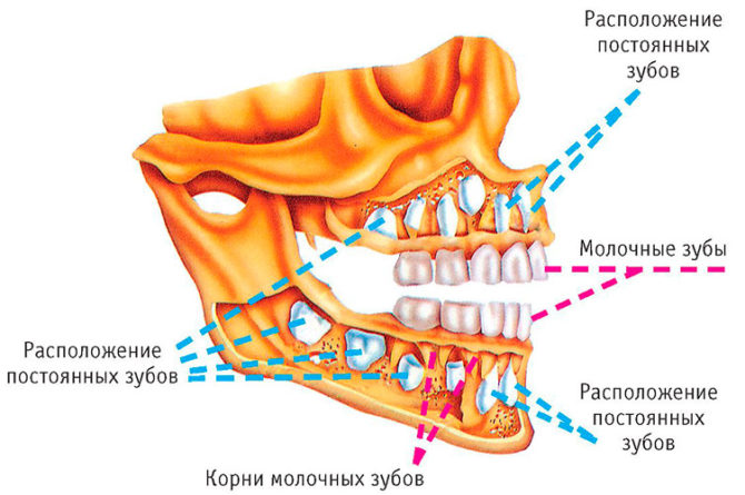 Расположение молочных зубов и зачатков постоянных