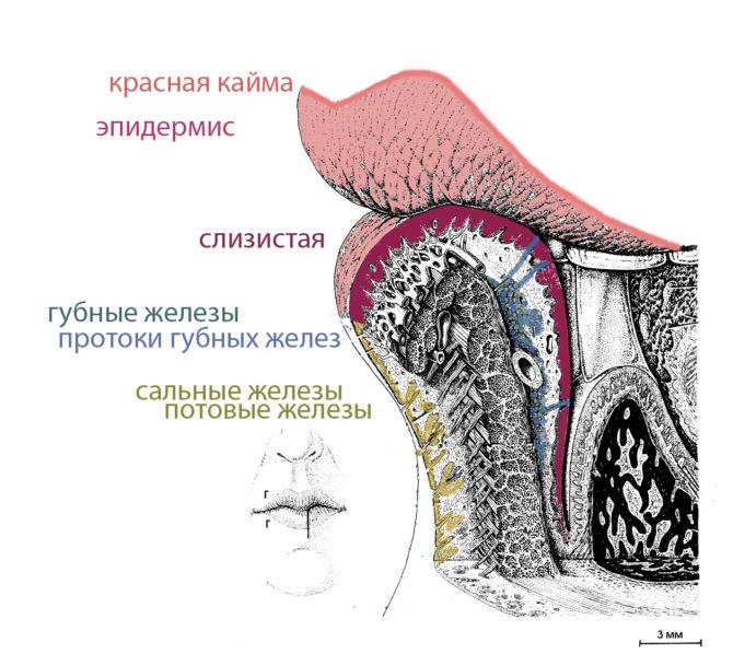 Схема устройства губы человека