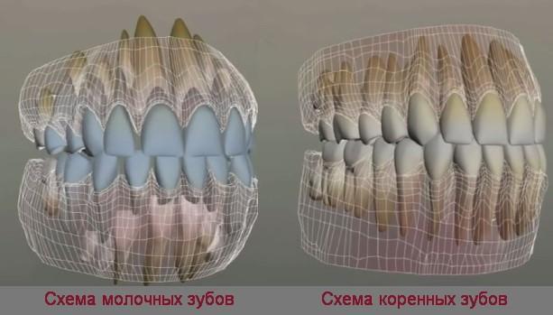 Схема молочных и коренных зубов