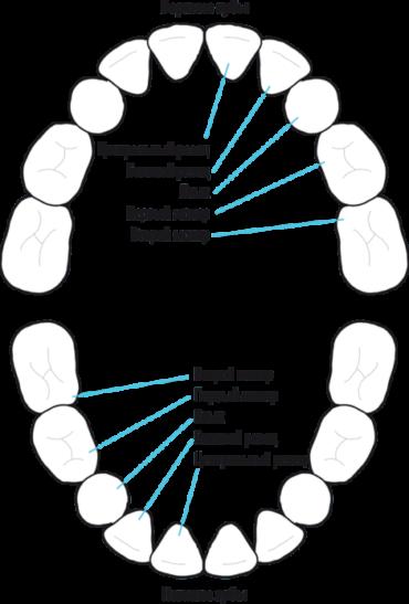 Схема названия молочных зубов в стоматологии