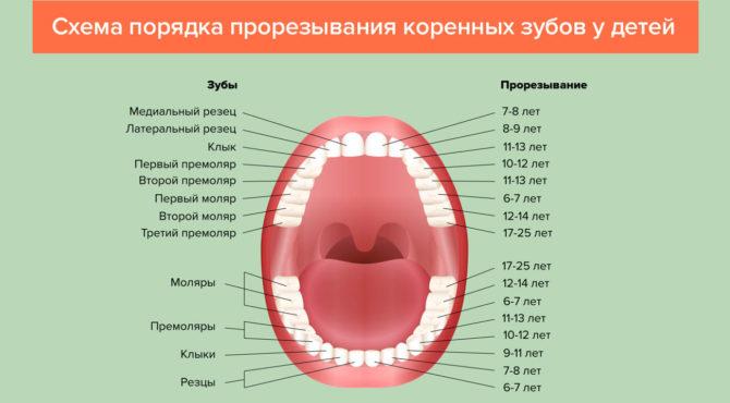 Схема порядка прорезывания коренных зубов
