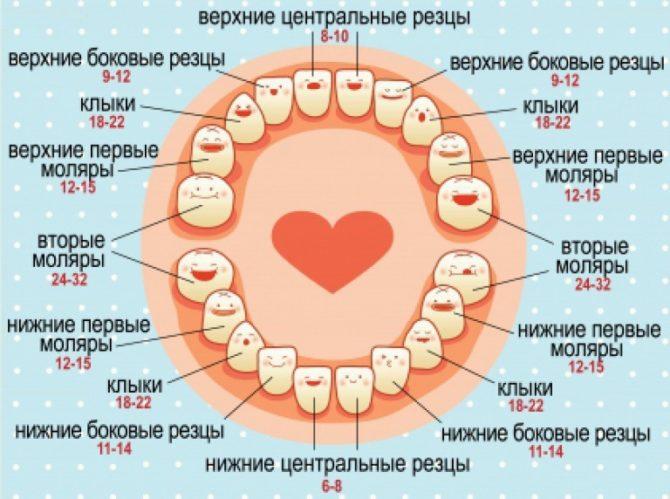 Схема последовательности роста молочных зубов