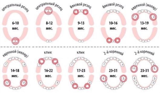 Схема прорезывания молочных зубов у детей