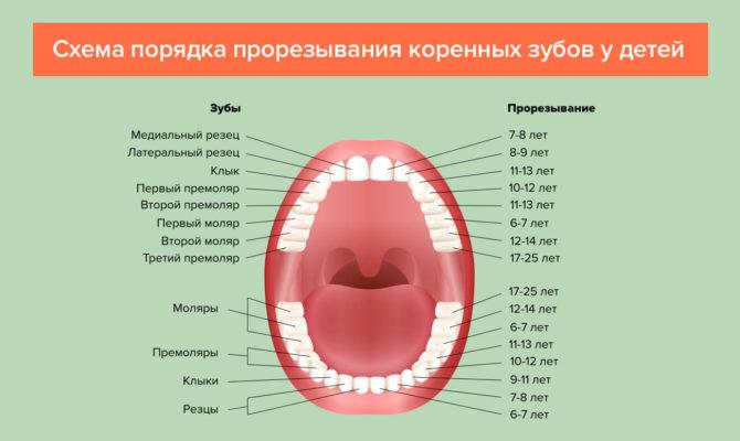 Схема прорезывания постоянных зубов у детей