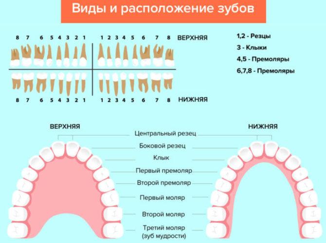 Схема расположения зубов у человека