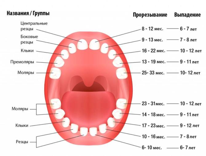 Схема смены молочных зубов на постоянные