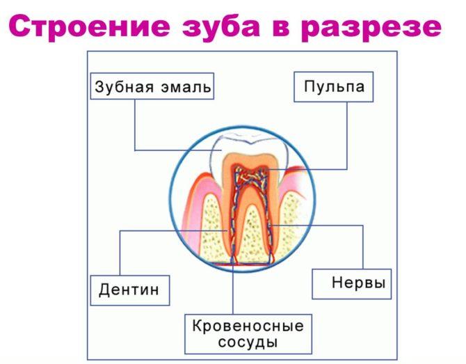 Строение зуба в разрезе