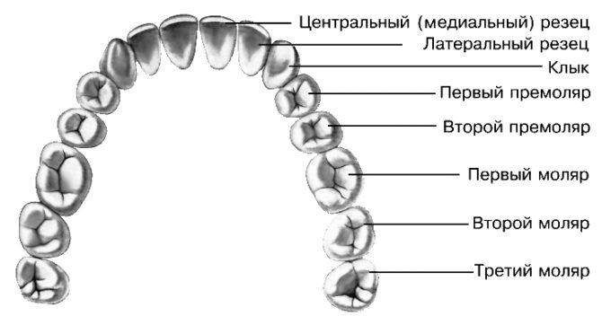 Виды постоянных зубов человека