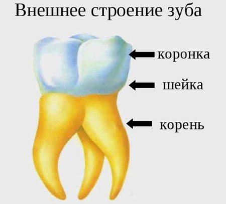 Внешнее строение зубов человека