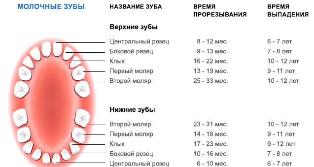 Время прорезывания и выпадения молочных зубов