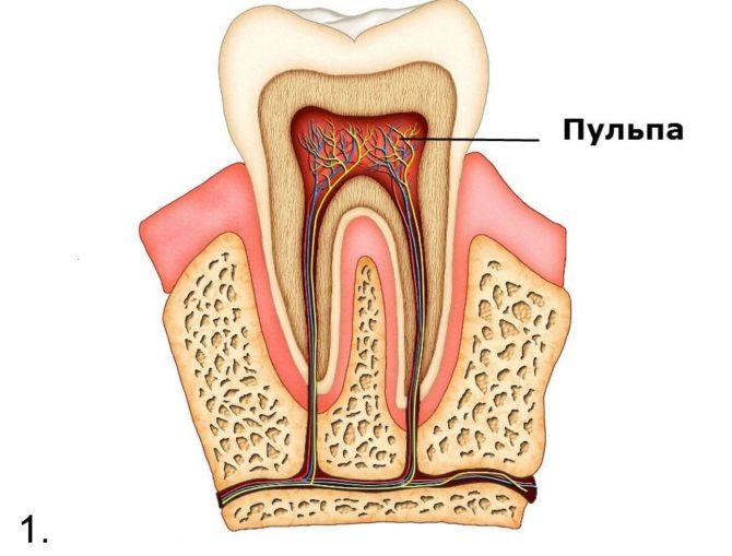 Строение и расположение пульпы зуба